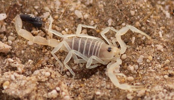 Скорпион на земле, фото