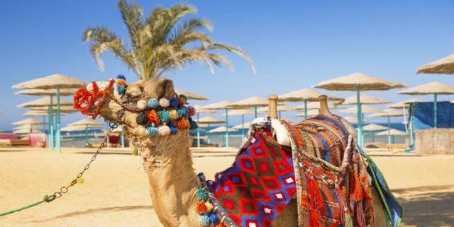 Верблюд в Египте