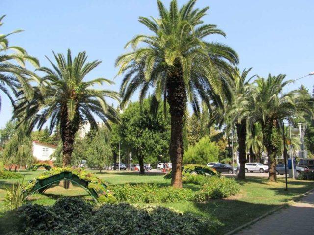 Пальмы в Сочи в июне